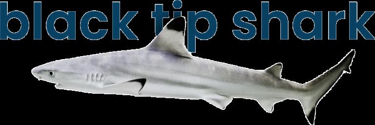 Black tip shark at VGP Marine Kingdom