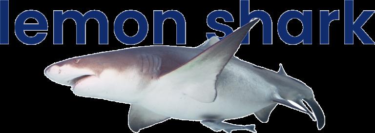 Lemon shark at VGP Marine Kingdom